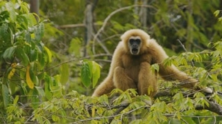 Monkeys And Apes: Gibbon   1