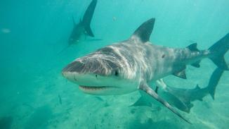Jungle Shark image