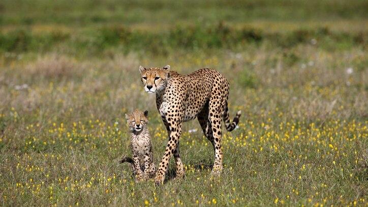 Watch Cheetah: Fatal Instinct Online