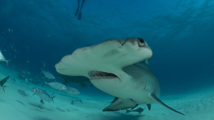 Watch Great Hammerhead Invasion Online