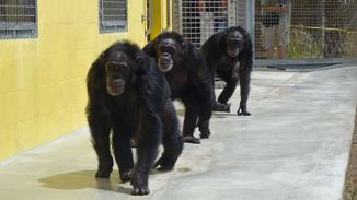 American Chimpanzee image