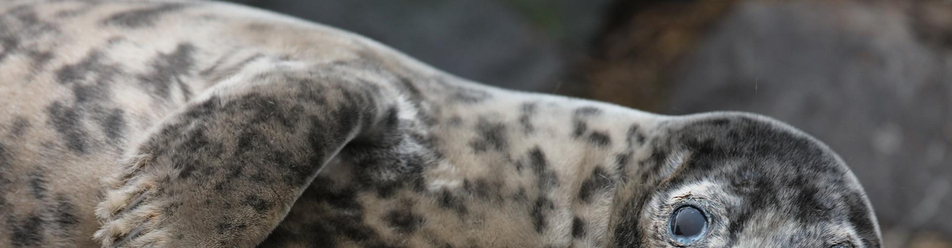 Watch Scotland's Killer Seals Online