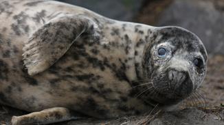 Scotland's Killer Seals image