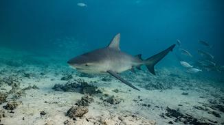 Sharks Among Us image