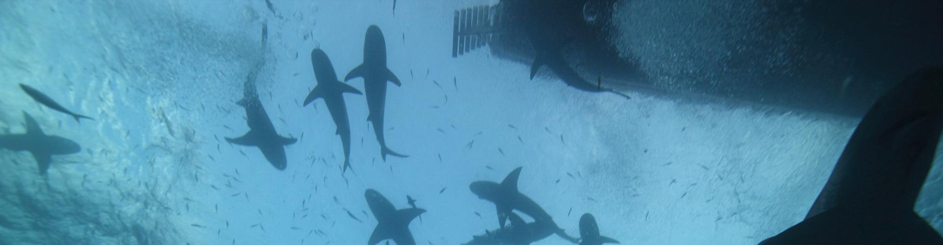 Watch Tiger Shark Beach Online
