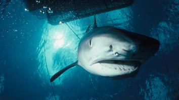 Tiger Shark Invasion