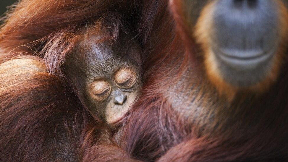 Episode 8 - Orangutan Stretch