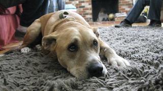 Dog Whisperer, The   1