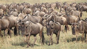 Wildebeest: Born To Run