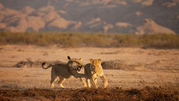Vanishing Kings: Desert Lions...