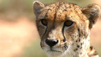The Miracle Cheetah