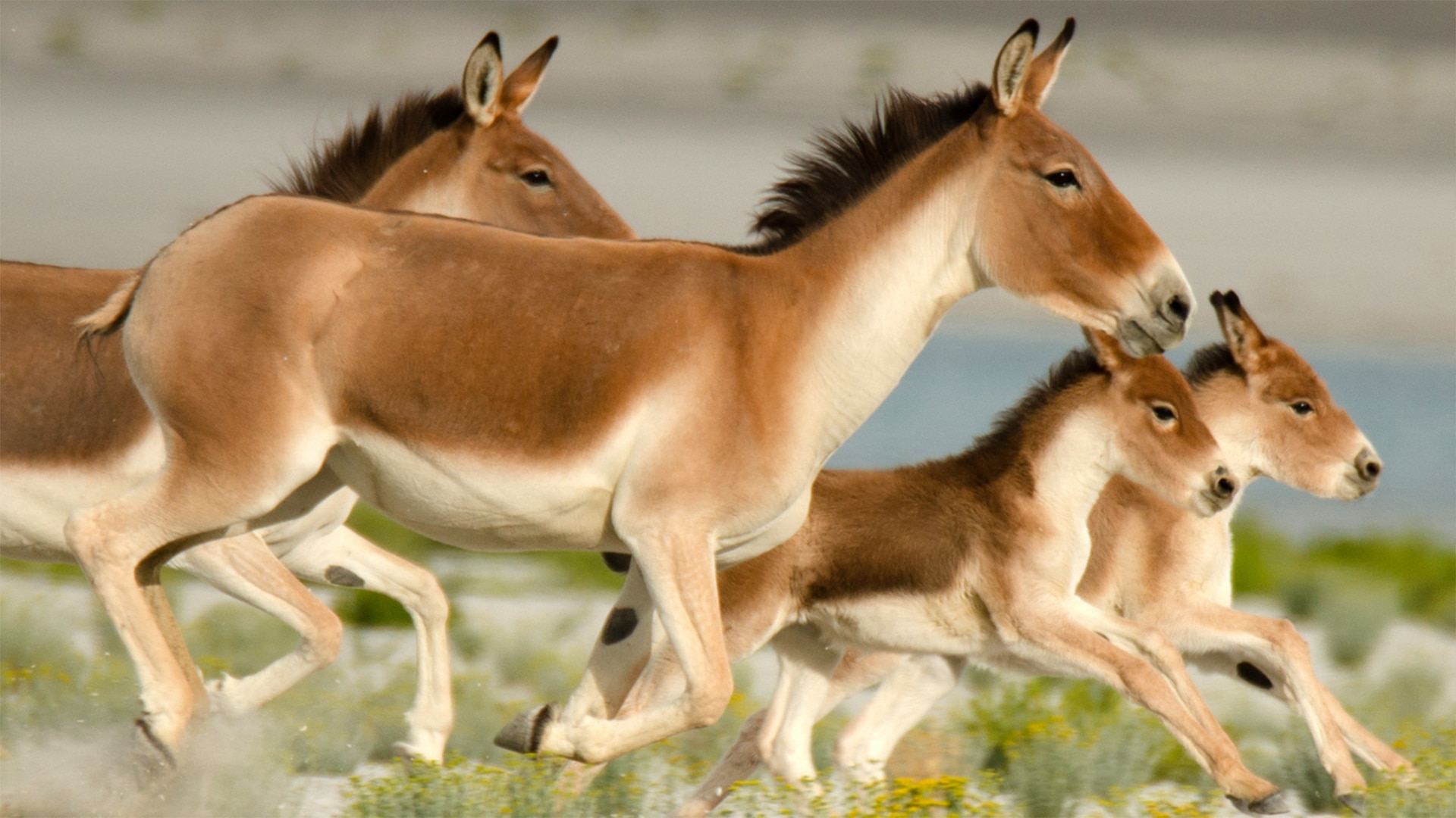 Wild Stallions Of The Himalayas