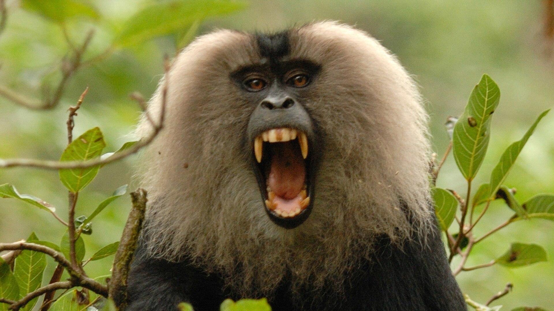 Rajan Monkey On A Mission