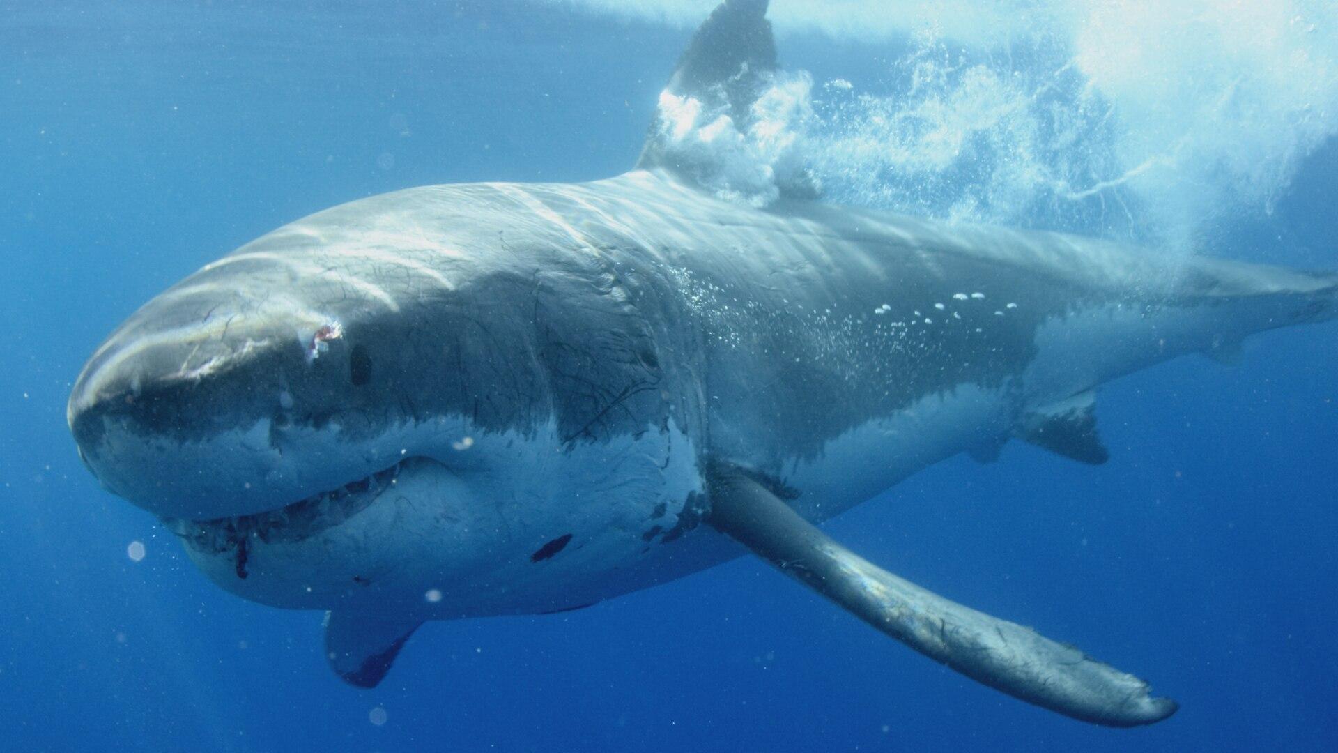 Island Of The White Shark