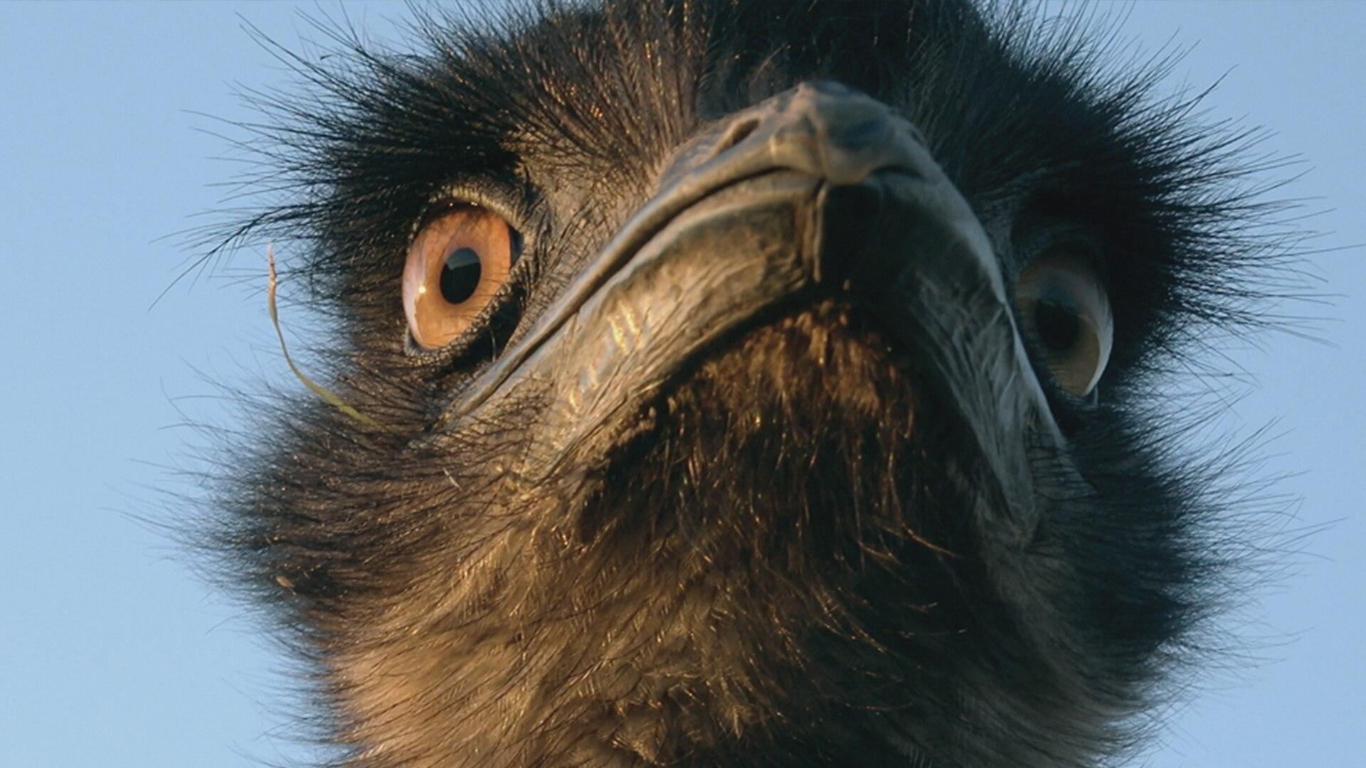 Secret Life Of The Emu