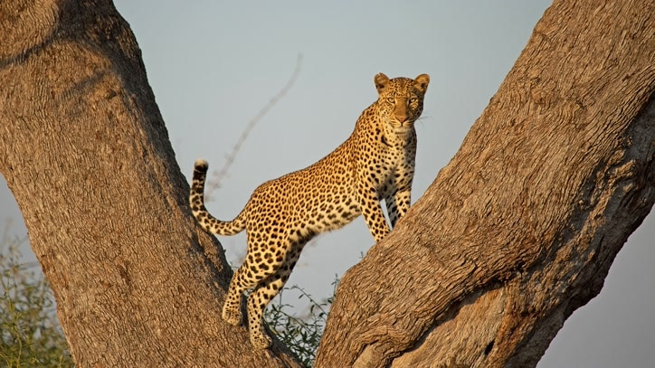 Watch Leopard Huntress Online