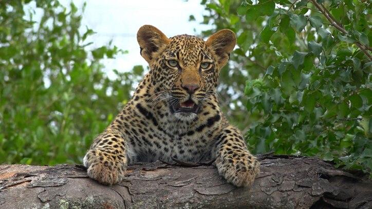 Watch Leopard Kingdom Online