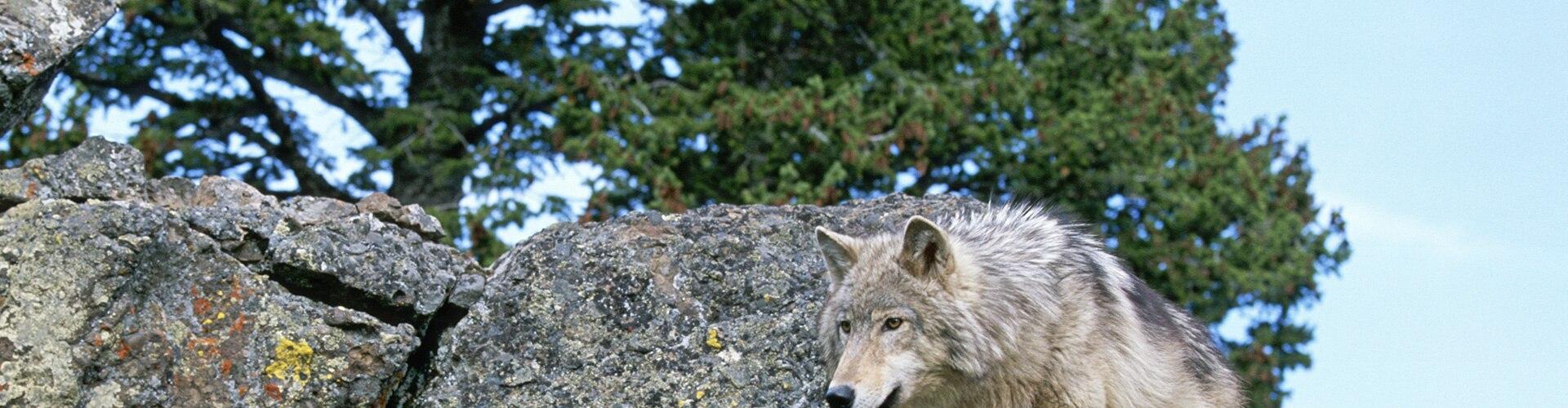 Watch Battle For Wolf Valley Online