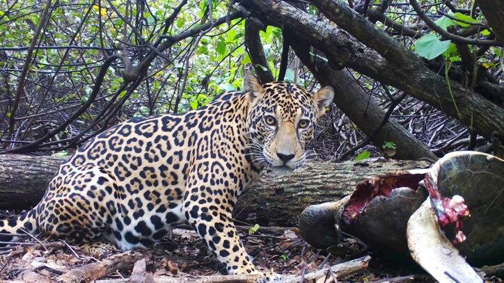 Watch Jaguar Beach Battle Online