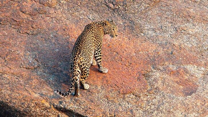 Watch The Leopard Rocks Online