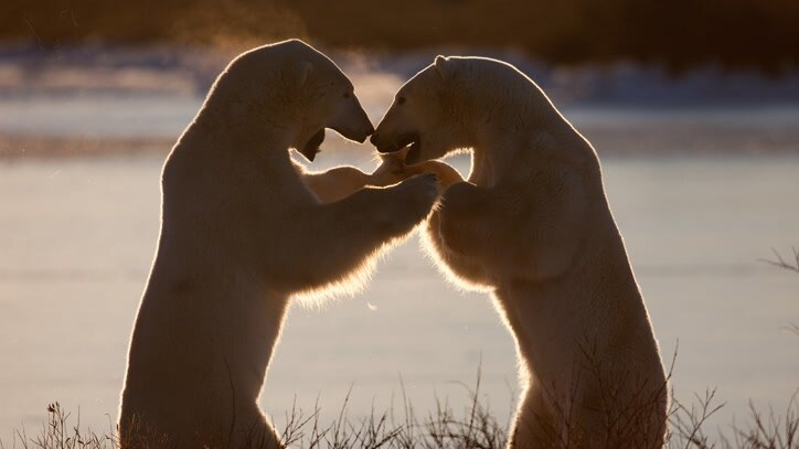 Watch Evolution Of The Polar Bear Online