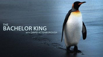 David Attenborough's Bachelor King