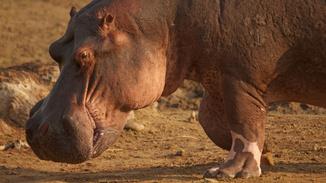 Wild Africa: Hippos Vs Crocs image