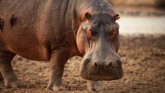 Wild Africa: Lions Vs Hippos image