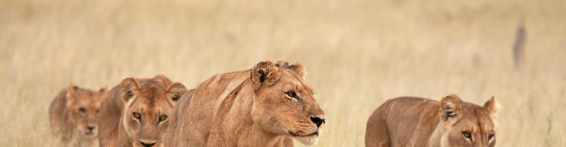 Watch Wild Africa: Lions Vs Buffalo Online