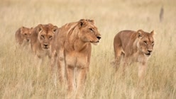 Wild Africa: Lions Vs Buffalo