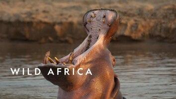 Wild Africa: Hippos Vs Crocs