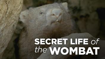 Secret Life Of The Wombat