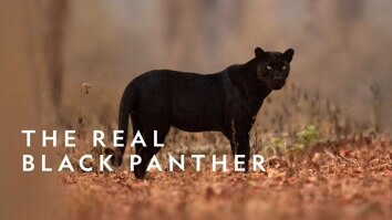 The Real Black Panther